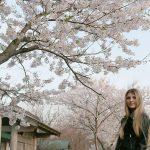 北海道で桜が咲きました!ロシアには桜も花見もない!?